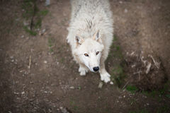 Arctic Wolf (Canis lupus arctos) aka Polar Wolf or White Wolf Royalty Free Stock Images