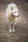 Arctic Wolf (Canis lupus arctos) aka Polar Wolf or White Wolf Royalty Free Stock Photography