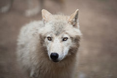 Arctic Wolf (Canis lupus arctos) aka Polar Wolf or White Wolf. Close-up portrait of this beautiful predator stock photo