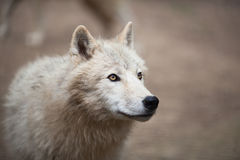 Arctic Wolf (Canis lupus arctos) aka Polar Wolf or White Wolf Stock Image