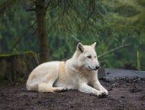 Arctic Wolf Royalty Free Stock Photos