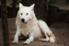 Arctic wolf Canis lupus arctos Royalty Free Stock Photos