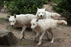 Arctic wolf Canis lupus arctos. Also known as the Melville Island wolf Royalty Free Stock Photos
