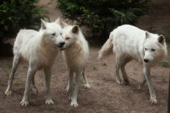 Arctic wolf Canis lupus arctos Royalty Free Stock Photography