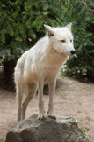 Arctic wolf Canis lupus arctos. Also known as the Melville Island wolf stock photography