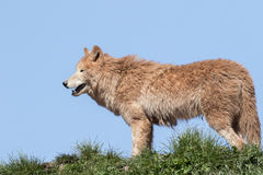 Arctic wolf  (Canis lupus arctos) Royalty Free Stock Images