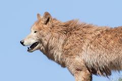 Arctic wolf  (Canis lupus arctos) Stock Images