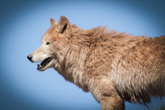 Arctic wolf  (Canis lupus arctos) Royalty Free Stock Image