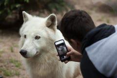 Arctic wolf Canis lupus arctos Stock Images