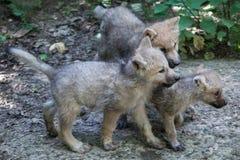 Arctic wolf Canis lupus arctos. Newborn Arctic wolf Canis lupus arctos, also known as the Melville Island wolf royalty free stock photography