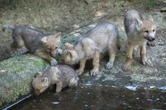 Arctic wolf Canis lupus arctos Royalty Free Stock Photo