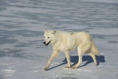 Arctic wolf, Canis lupus arctos Royalty Free Stock Photography