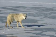 Arctic wolf, Canis lupus arctos. Single mammal on snow, captive stock images