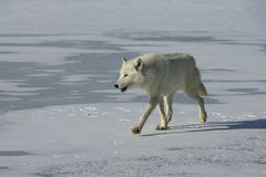 Arctic wolf, Canis lupus arctos Stock Photo