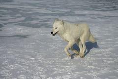 Arctic wolf, Canis lupus arctos Stock Images