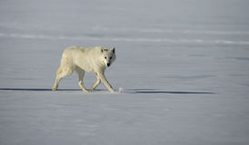 Arctic wolf, Canis lupus arctos Royalty Free Stock Photo