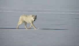 Arctic wolf, Canis lupus arctos Royalty Free Stock Photo