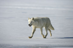Arctic wolf, Canis lupus arctos. Single mammal on snow, captive royalty free stock images