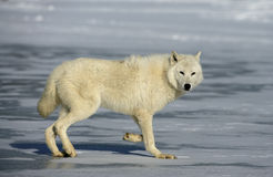 Arctic wolf, Canis lupus arctos Royalty Free Stock Photography