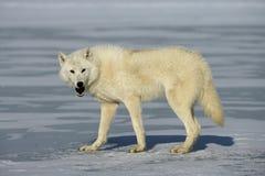 Arctic wolf, Canis lupus arctos Stock Photos