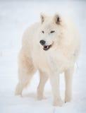 Arctic wolf (Canis lupus arctos) in snow. Arctic wolf (Canis lupus arctos) walks on snow in winter. Outdoor wildlife in natural habitat stock images