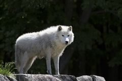 An Arctic wolf Canis lupus arctos standing on the rocks in spring in Canada. Arctic wolf Canis lupus arctos standing on the rocks in spring in Canada stock images