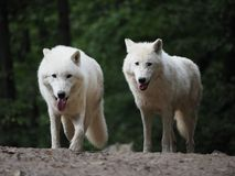 Arctic Wolf (Canis lupus arctos), Title picture, Green background,. Portrait stock photo