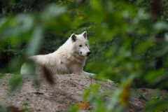 Arctic Wolf (Canis lupus arctos), Title picture, Green background. Portrait stock images