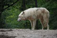 IArctic Wolf (Canis lupus arctos), Title picture, Green background. Arctic Wolf (Canis lupus arctos), Title picture, Green background royalty free stock photo