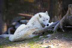 Arctic wolf, Canis lupus arctos, is white in color Royalty Free Stock Image
