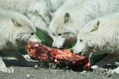 Arctic wolf Canis lupus arctos. Arctic wolves eating raw meat in their habitat Stock Photo