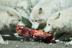 Arctic wolf Canis lupus arctos Stock Photo