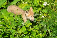 Arctic Wolf - Canis lupus. Captive Arctic Wolf pup walking through the low growing leaves at the zoo. Toronto, Ontario, Canada Stock Photo
