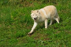Arctic Wolf - Canis lupus. A captive Arctic Wolf is running down a shallow hill at the zoo. Also known as a White Wolf. Toronto, Ontario, Canada stock photos