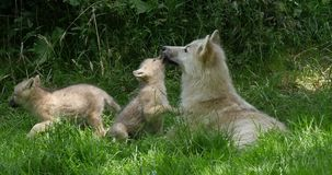 Arctic wolf, canis lupus tundrarum, mother playing with cub, real time. 4K stock video footage