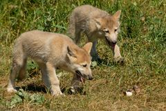 Arctic Wolf - Canis lupus. Two captive Arctic Wolf pups are stalking a bone in the grass at the zoo. Toronto, Ontario, Canada stock image