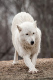 Arctic wolf Royalty Free Stock Image