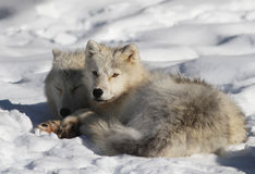 Arctic wolf couple. Royalty Free Stock Photo