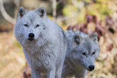 Arctic wolf  couple Royalty Free Stock Photos