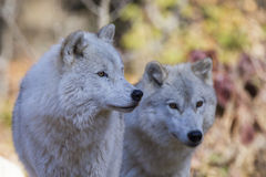 Arctic wolf  couple Stock Photography