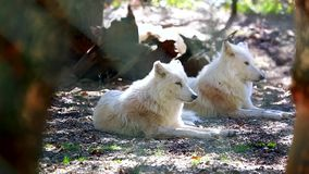 Arctic Wolf Couple. Canis Lupus Arctos Lying Down On Ground stock video footage
