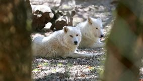 Arctic Wolf Couple. Canis Lupus Arctos Lying Down On Ground stock footage