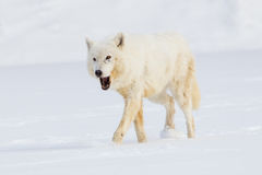 Arctic wolf eating a vole Stock Photography