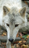 Arctic wolf eyes and ears Royalty Free Stock Images