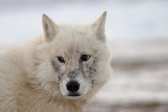 Arctic Wolf Face Stock Images