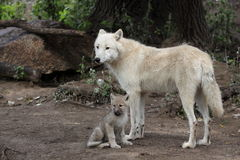 Arctic wolf family. The detail of adult arctic wolf with its juvenile Royalty Free Stock Photos