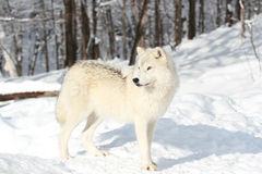 Arctic wolf in forest Royalty Free Stock Photo