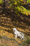 Arctic wolf in golden forest Royalty Free Stock Image