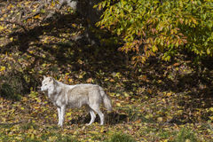 Arctic wolf in golden forest Stock Image