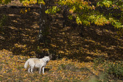 Arctic wolf in golden forest Stock Images